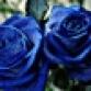 roseblue