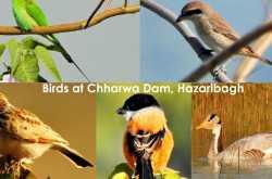 पक्षियों के संग हजारीबाग के रंग  a birding trip to charwa dam hazaribagh