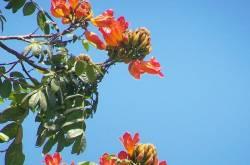 पिचकारी - spathodea campanulata