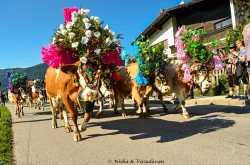 Almabtrieb, the Alpine Cow Festival - Lemonicks - Le Monde, the Poetic Travels