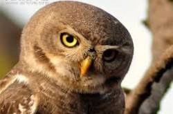 Endangered Forest Owlet now sighted in Madhya Pradesh Jungles too!