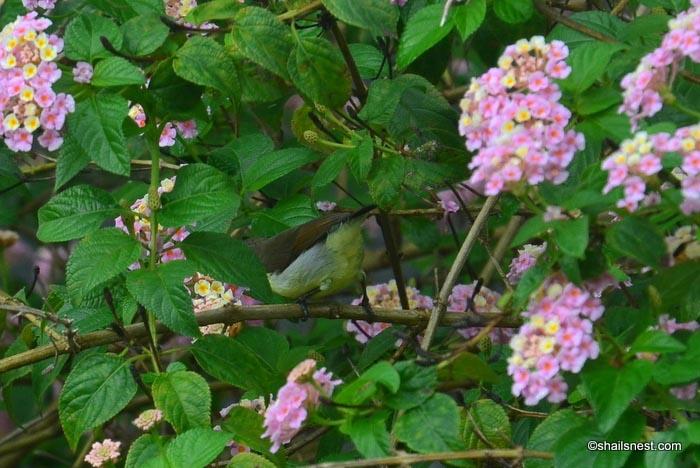 Foto Friday 186: Purple-rumped Sunbirds