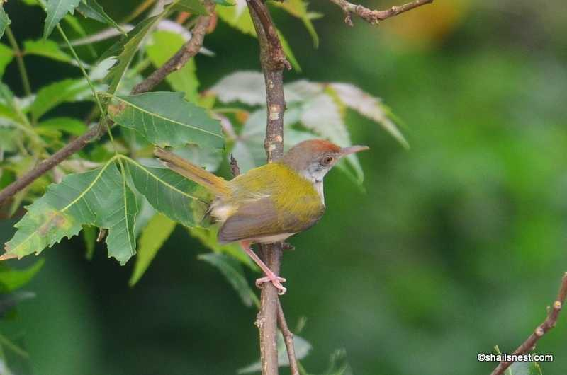 Foto Friday 188: The Many Moods Of A Common Tailorbird