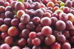 harvesting kokum through uttara kannada