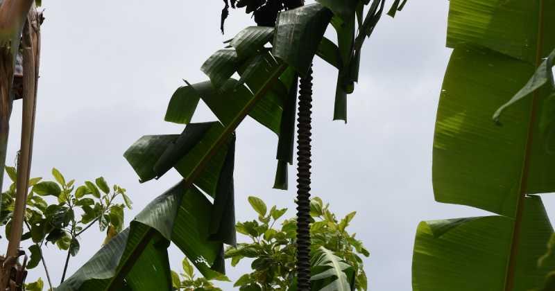 Kashundi Narkol Mocha -- Banana Blossoms With Kashundi And Coconut