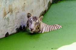Man over tiger