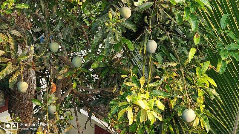 Mangoes, Neighbors And Luci