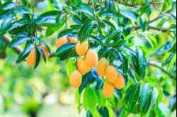 medicinal mango #carrotranch