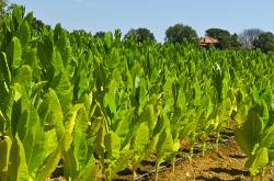 Multi-Sourcing Of Tobacco To Meet Global Demand