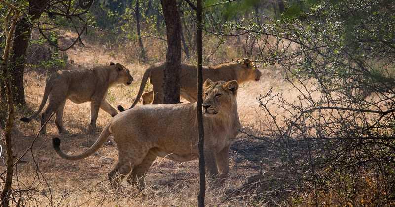 Nahargarh Biological Park & Lion Safari.