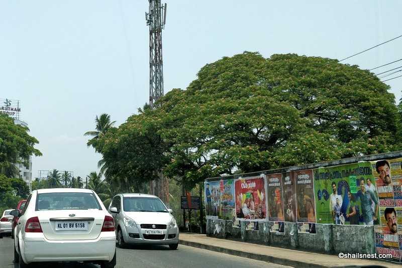 Rain Trees Of Thiruvananthapuram