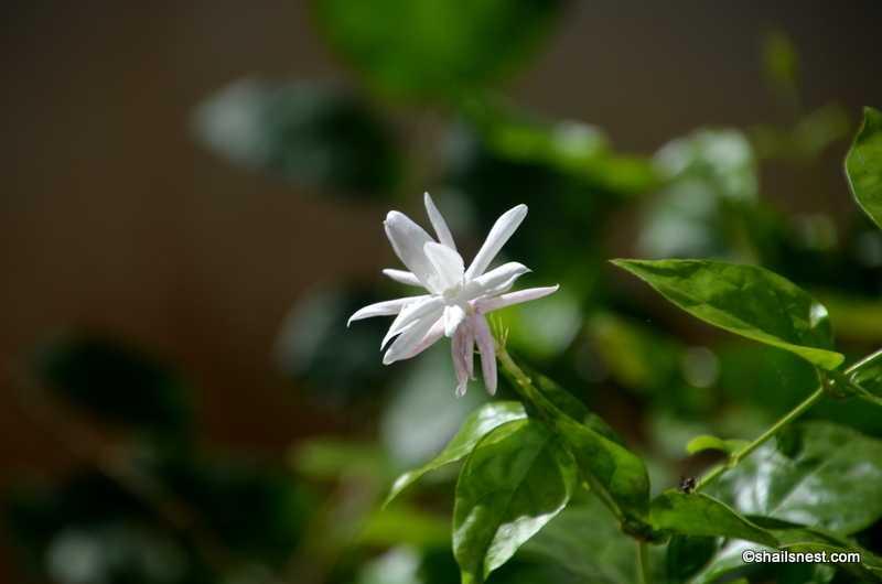 Scent Of Jasmines