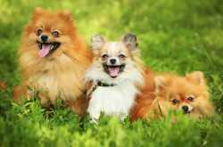 Small Fluffy Dogs - These 11 Fuzzy Doggie Are Very Adorable