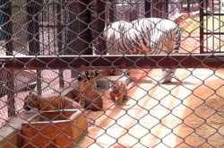 The Pride of Mysore Zoo.