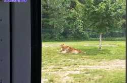 Your Wish Is My Order - African lion safari (Waterloo)
